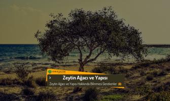 Zeytin Ağacı ve Yapısı Hakkında Bilgiler